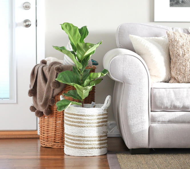 fiddle_leaf_family_room_plant